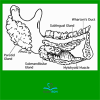 Through which main ducts do the parotid and submandibular glands secrete saliva?