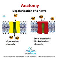 What happens with depolarization of a nerve?